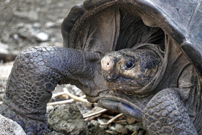 Encontrada tartaruga gigante considerada desaparecida há um século