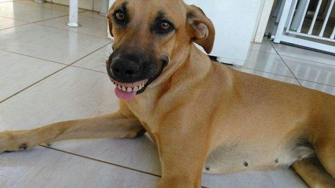 """Read more about the article Cachorra acha dentadura, encaixa na boca e quase """"mata o dono"""" de rir"""