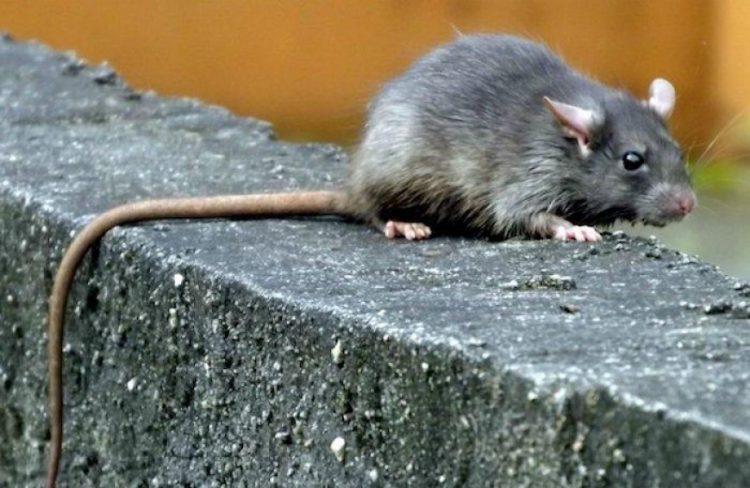 Policias acusam ratos de comer 540 kilos de maconha em Delegacia.